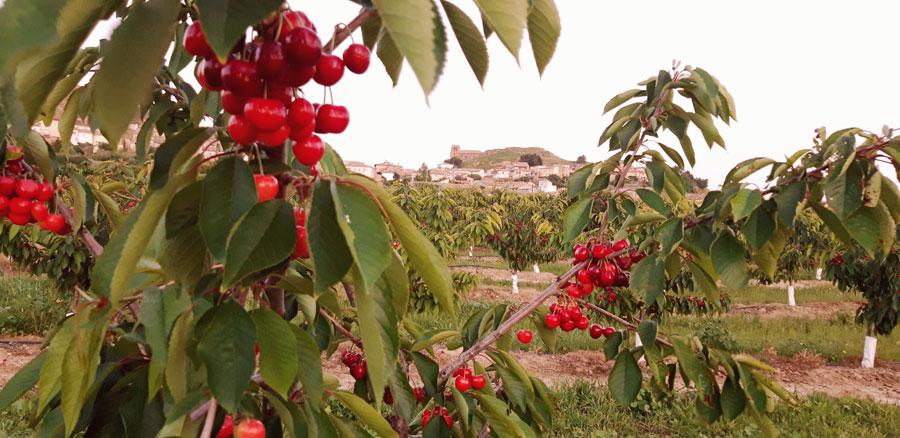 Experiencia campestre. Cerezas de Bolea